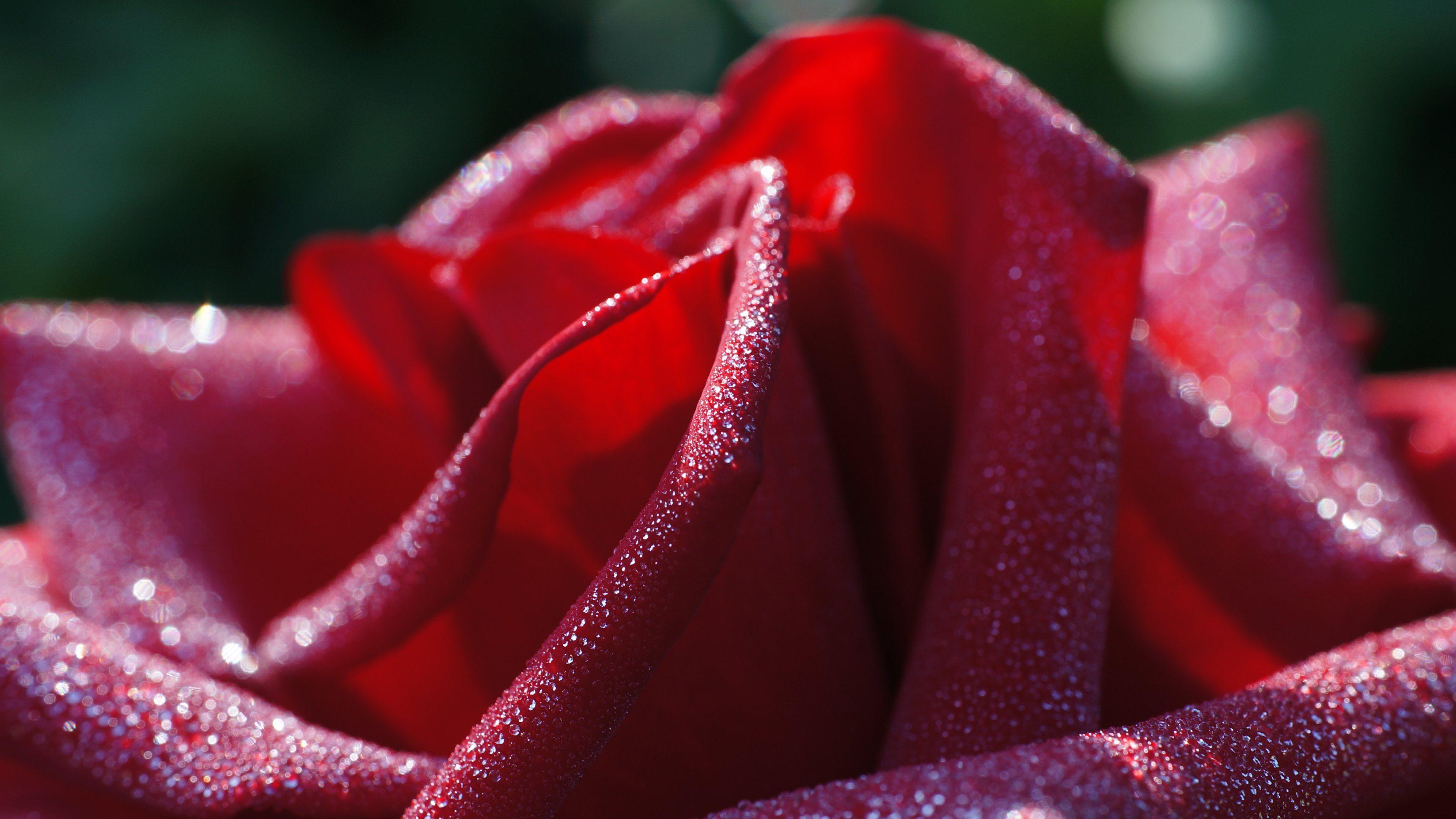 Hot Love Macro Flowers Roses Red Flower Wallpaper Flower Wallpaper Macro Flower