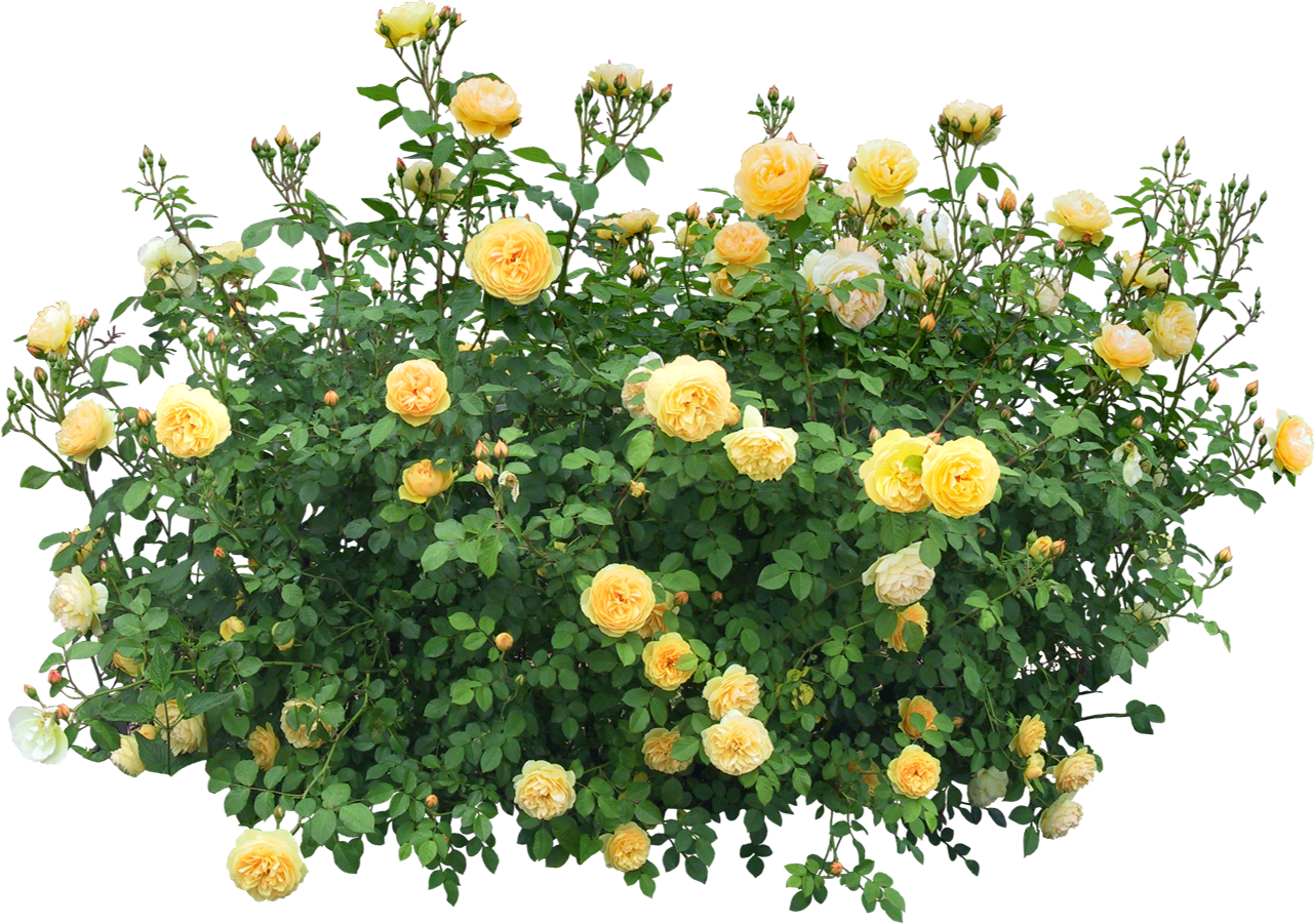 Buisson render roses jaune buisson plante nature for Plante buisson fleur