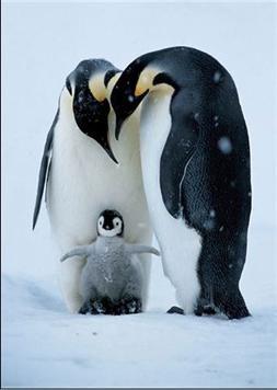 3 Penguins Pinguine Arktische Tiere Tiere Wild