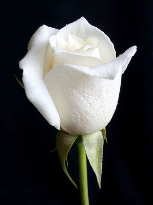 The Beauty Of A Single Rose White Roses Wallpaper Beautiful