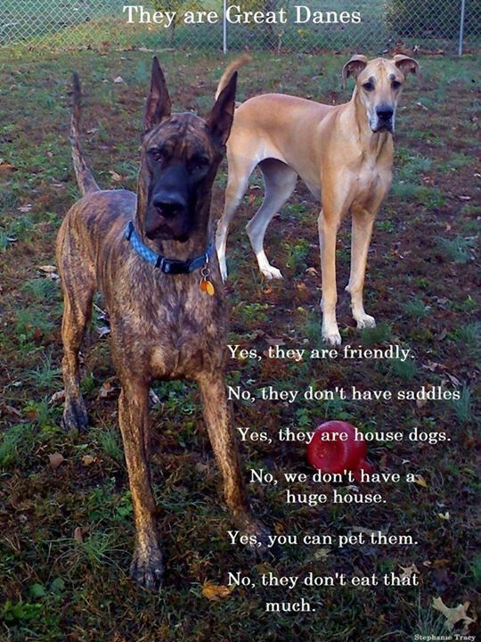 All Possible Answers Great Dane Dogs Great Dane Rescue