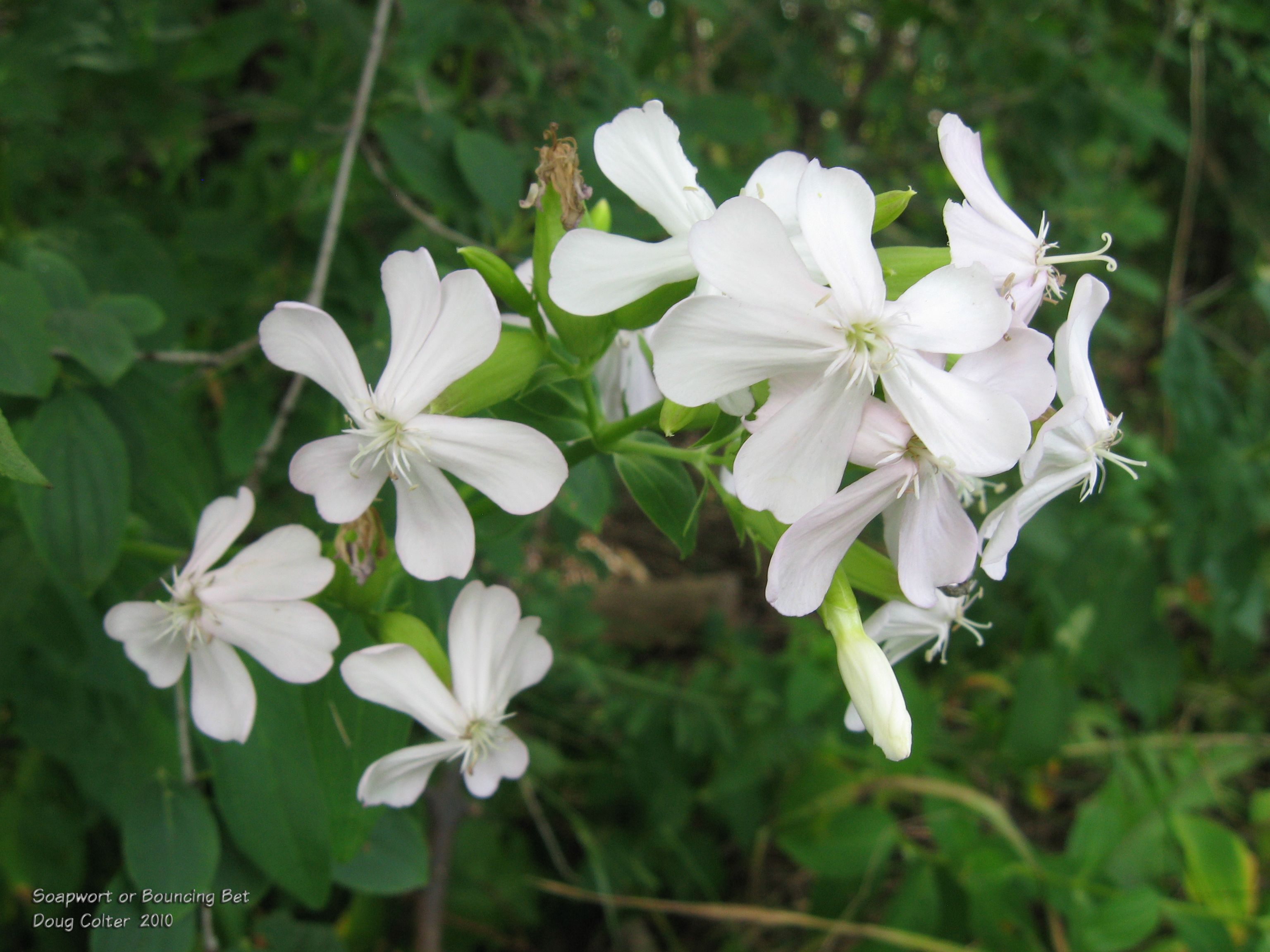 Bouncing Bet  aka soapwort (Saponaria officinalis) • Family: Pink (Caryophyllaceae)  • Habitat: roadsides, waste places • Height: 1 to 2-1/2 feet • Flower size: 1 inch across • Flower color: pink, sometimes very pale pink • Flowering time: July to September  • Photo by Doug Colter