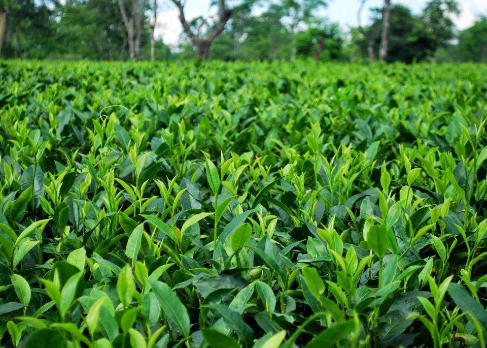 Tea Project in West Bengal West bengal, Bengal, Tea
