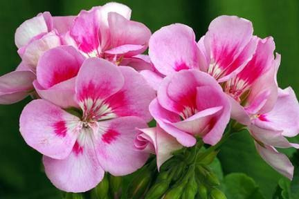 Rose Geranium (Pelargonium graveolens) would have to be one of my favourite of all the essential oils. So many of my blends contain Rose Geranium!  It is such a versatile and amazing sweet, floral and sometimes heady oil! It relieves anxiety and depression, it's uplifting and energising, and yet also relaxing, it balances the nervous system and regulates the hormone system.