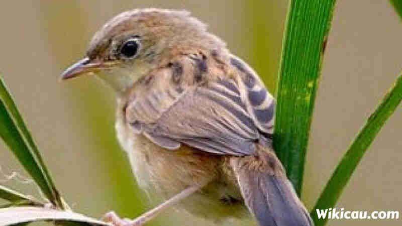 11 Jenis Burung Prenjak Yang Bagus Untuk Di Pelihara Gambar Burung Jenis Gambar