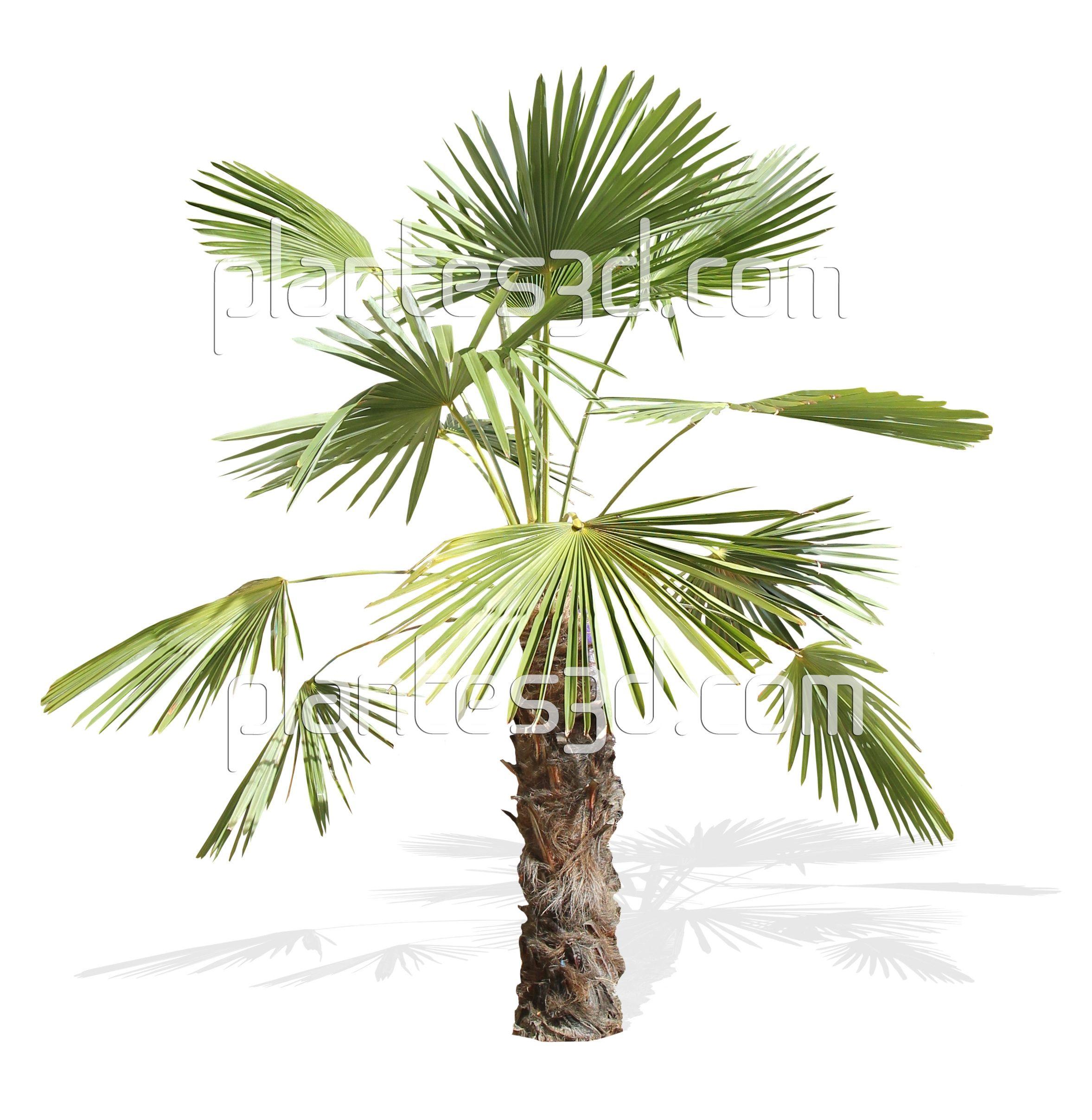 palmier sketchup