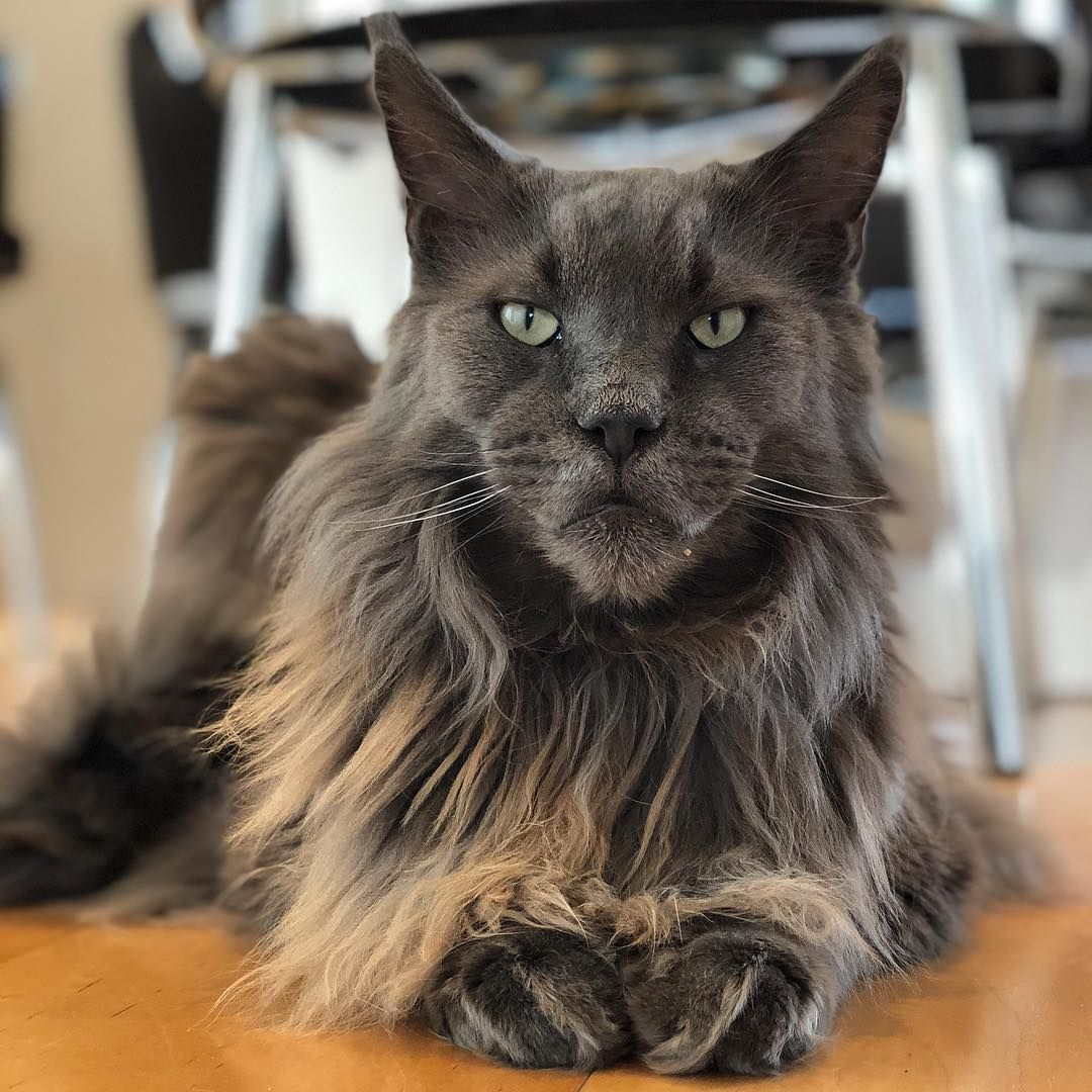 Pin On Mainecoons Norwegian Forest Cats