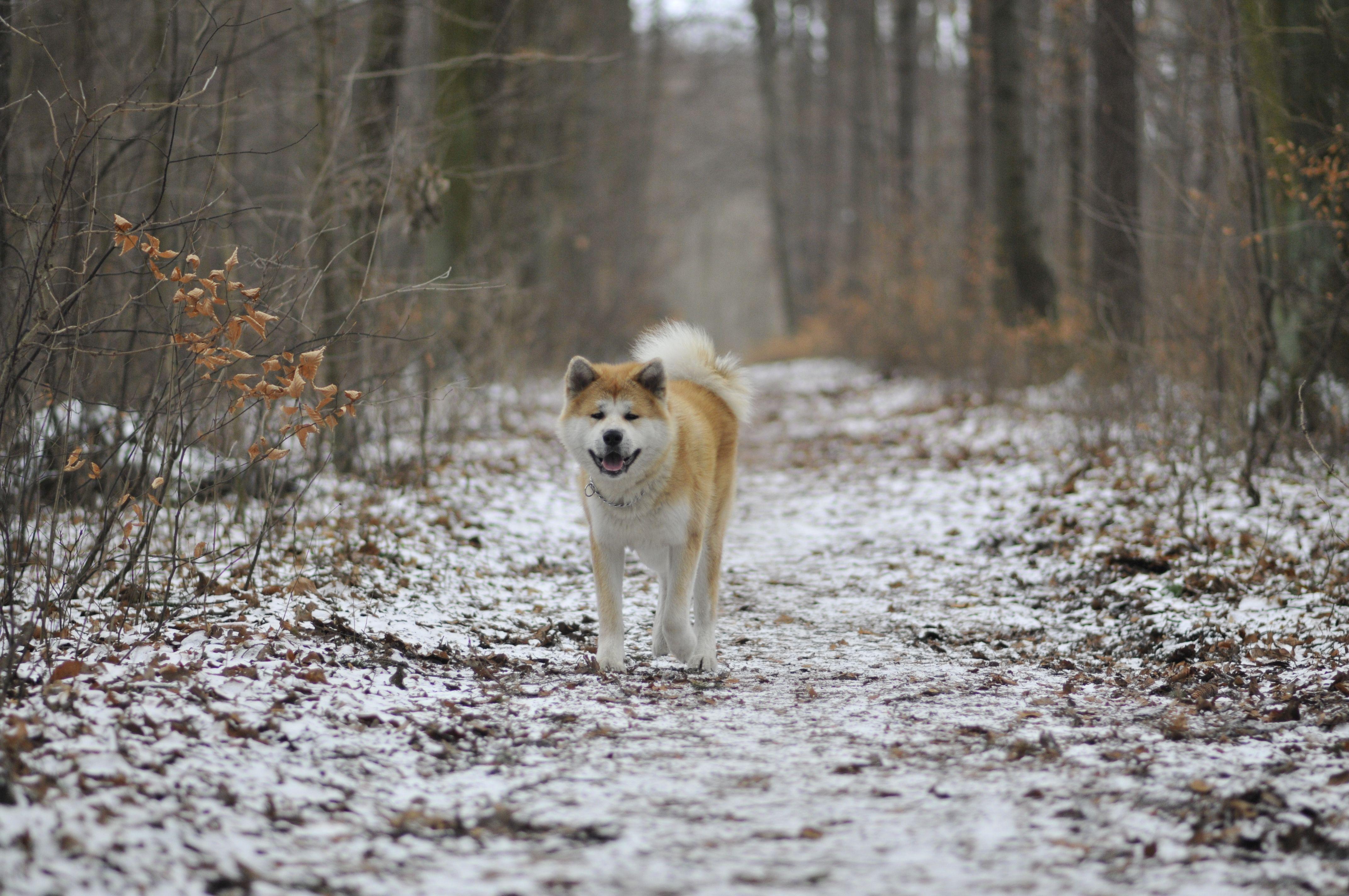 Pin By Czerwo On Akita American Akita Bear Hunting Dog