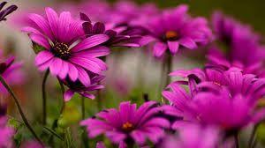 Image result for dark pink flower wallpaper zena pinterest image result for dark pink flower wallpaper mightylinksfo
