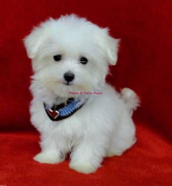 Akc Maltese Puppies Maltese Puppy Maltese Dogs Teacup Puppies