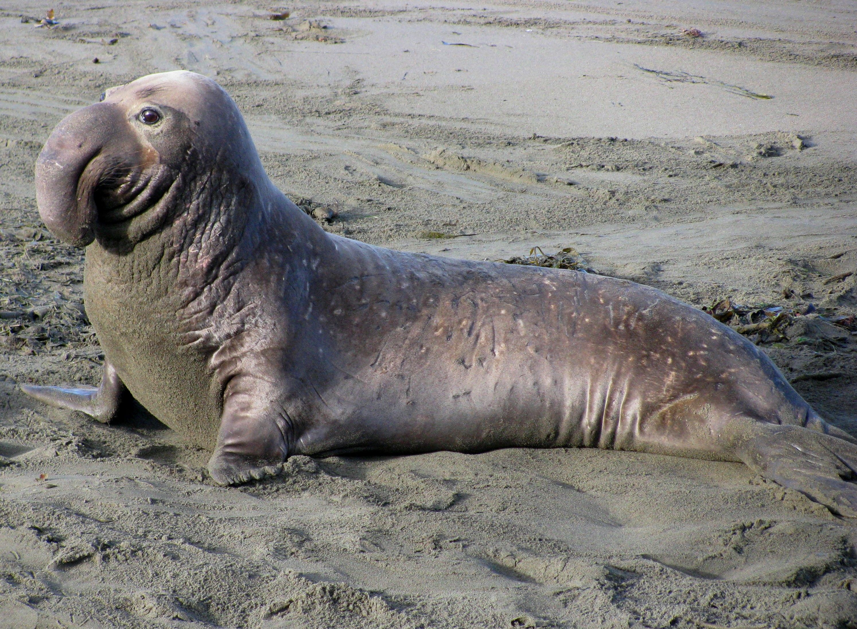Image result for Elephant seal | -animal reference | Pinterest ...
