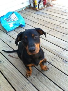 Dachshund Rottie Mix Weiner Dog Dog Mixes Dogs