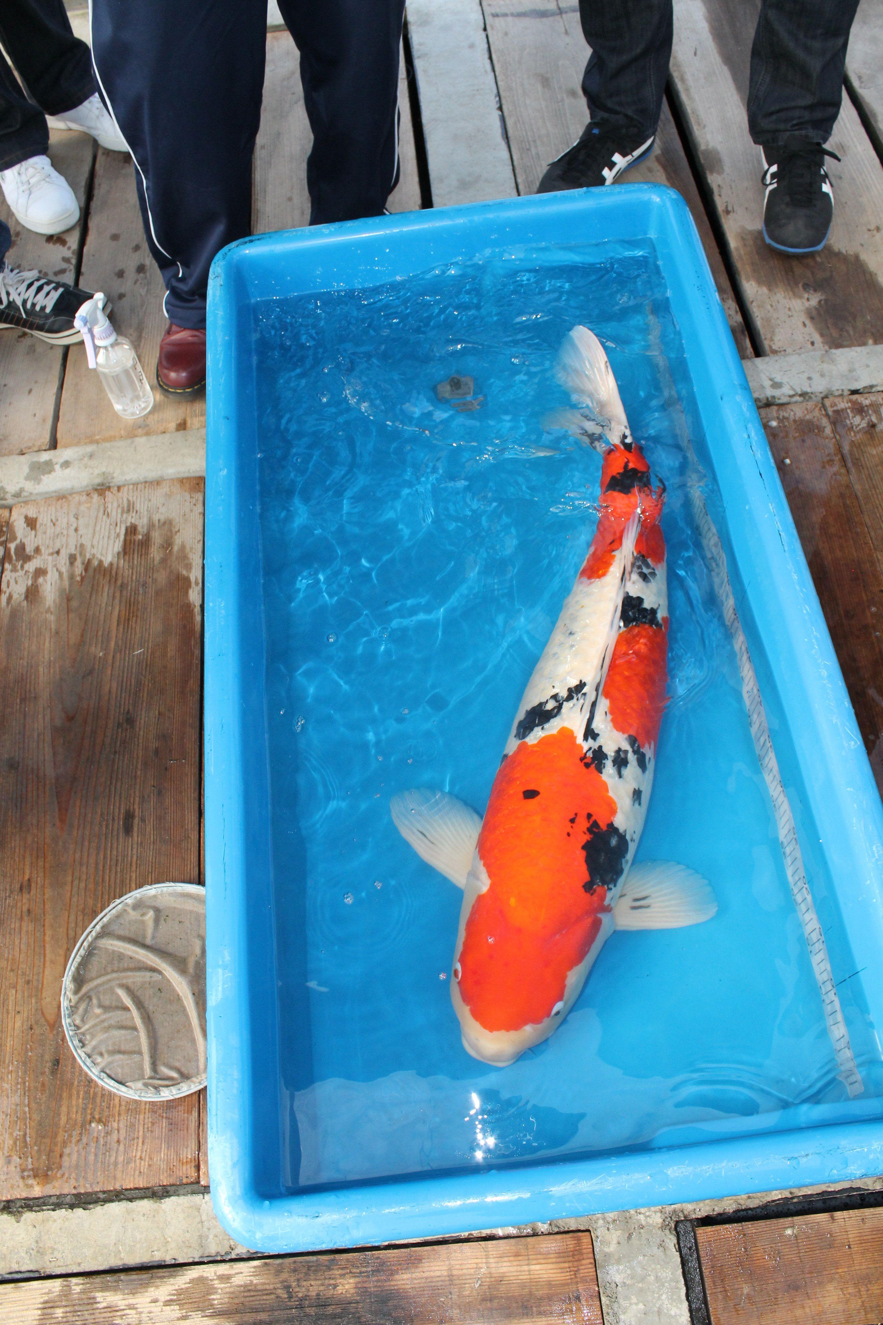 Huge Koi Koi For Sale Koi Fish For Sale Koi Fish