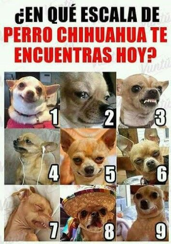 Escala Chihuahua Memes De Animales Divertidos Memes De Perros Chistosos Humor Divertido Sobre Animales