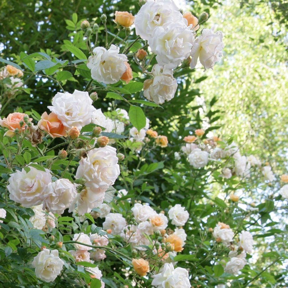 rosier grimpant ghislaine de f ligonde pot de 3 litres heirloom roses clematis and gardens. Black Bedroom Furniture Sets. Home Design Ideas