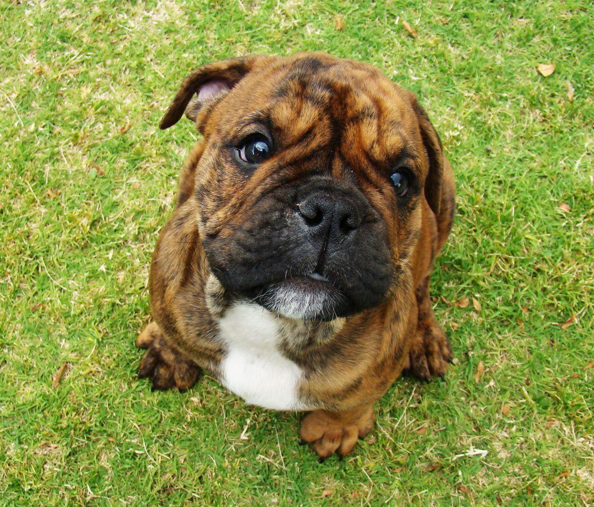 Little honey aussie bulldog boxer bulldog cute