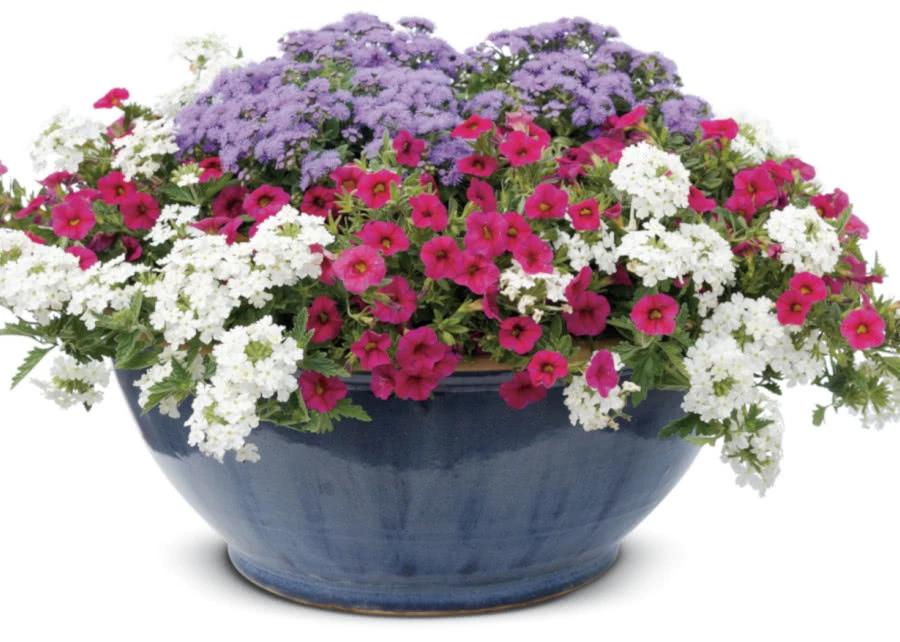 Czerwono Fioletowa Kompozycja Najlepsze Rosliny Zielony Ogrodek Container Gardening Garden Containers Container Flowers