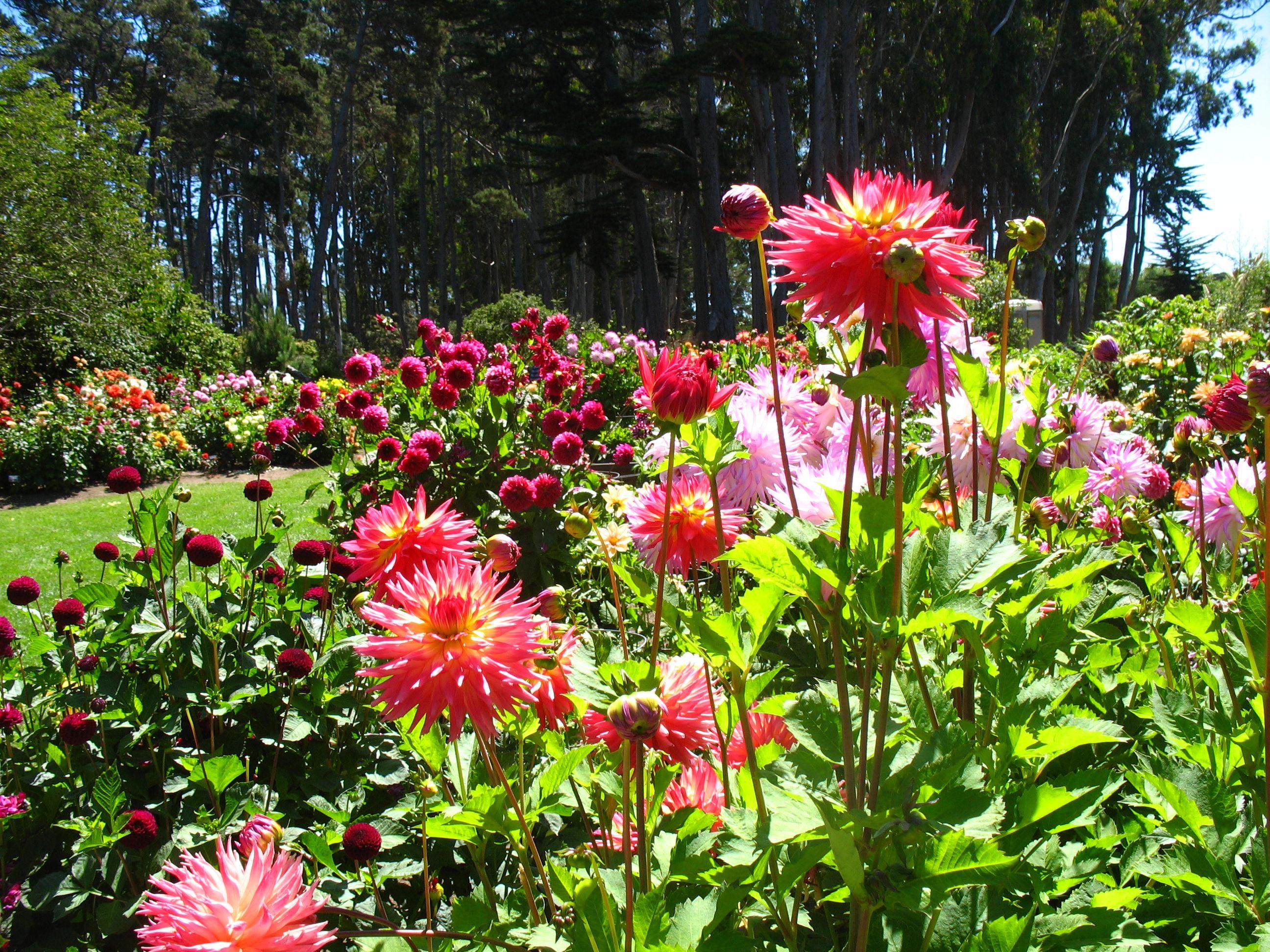 Mendocino Coast Botanical Garden Dahlias My California Pinterest Fort Bragg California And