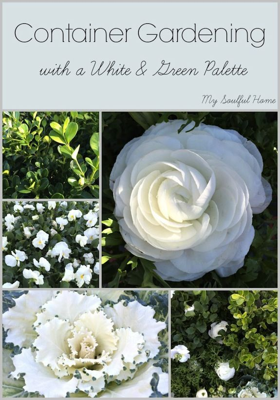 Learn how to put together a beautiful white & green palette for your container garden. Tips on plant selection, fertilization & more. A calm, fresh garden.