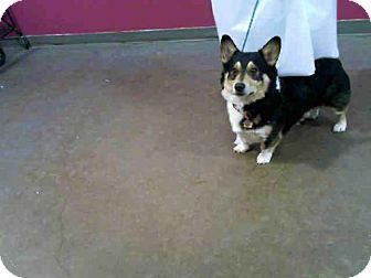 Dallas Tx Cardigan Welsh Corgi Mix Meet Jake A Dog For Adoption Welsh Corgi Mix Corgi Kitten Adoption