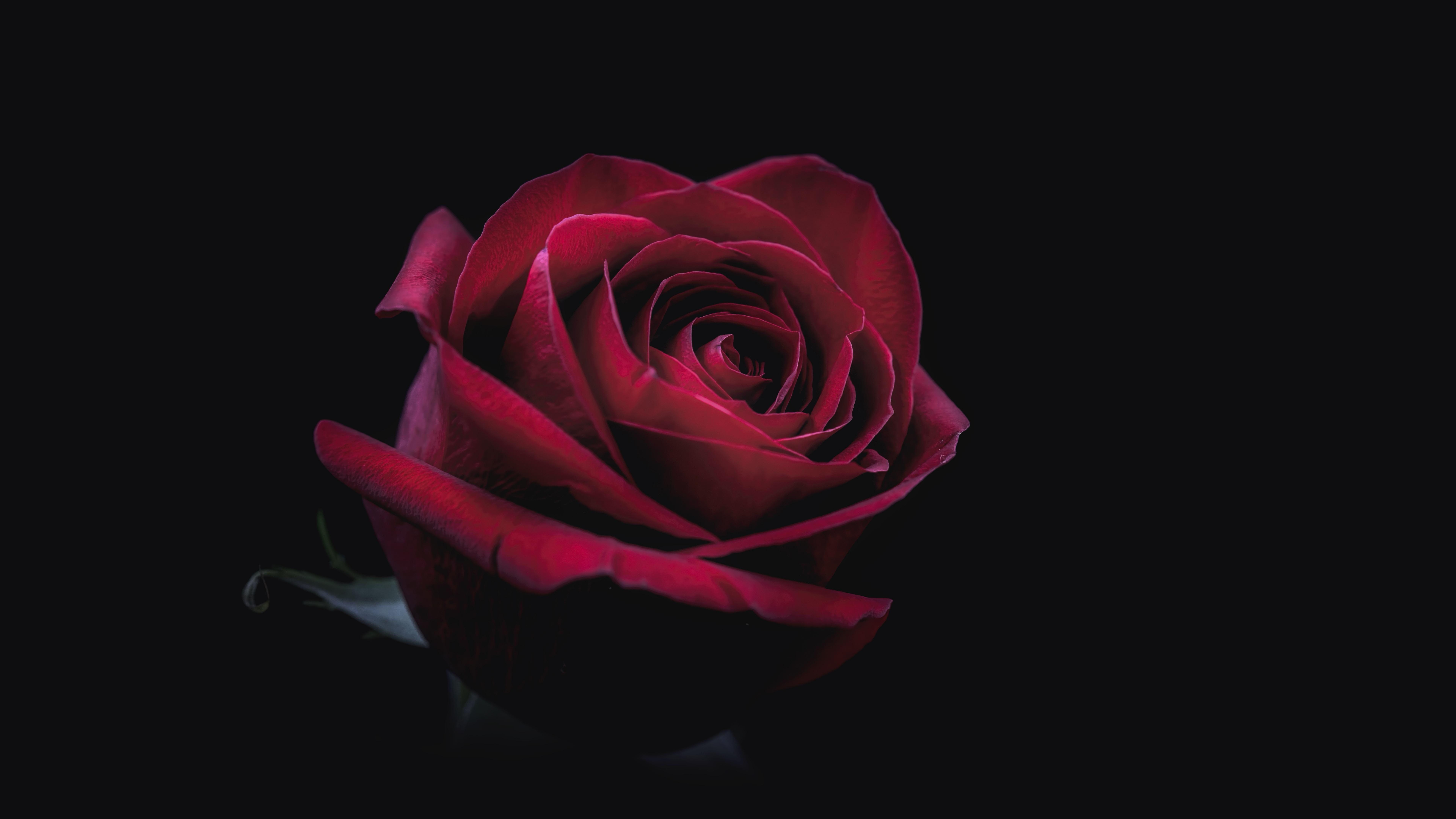 Red Flower Red Rose Rose Darkness 8k Uhd 8k Wallpaper Hdwallpaper Desktop In 2021 Garden Design Red Flowers Red Roses