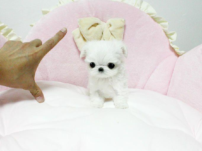 Teacup Puppies Pomeranian Yorkie Maltese Chihuahuas Designer
