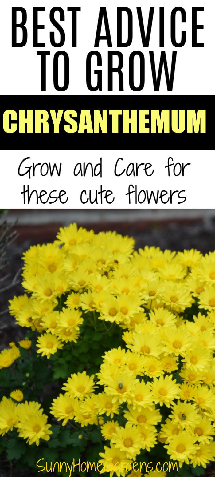 How To Grow And Care For Mums Chrysanthemums In 2020 Chrysanthemum Growing Chrysanthemum Flower Chrysanthemum