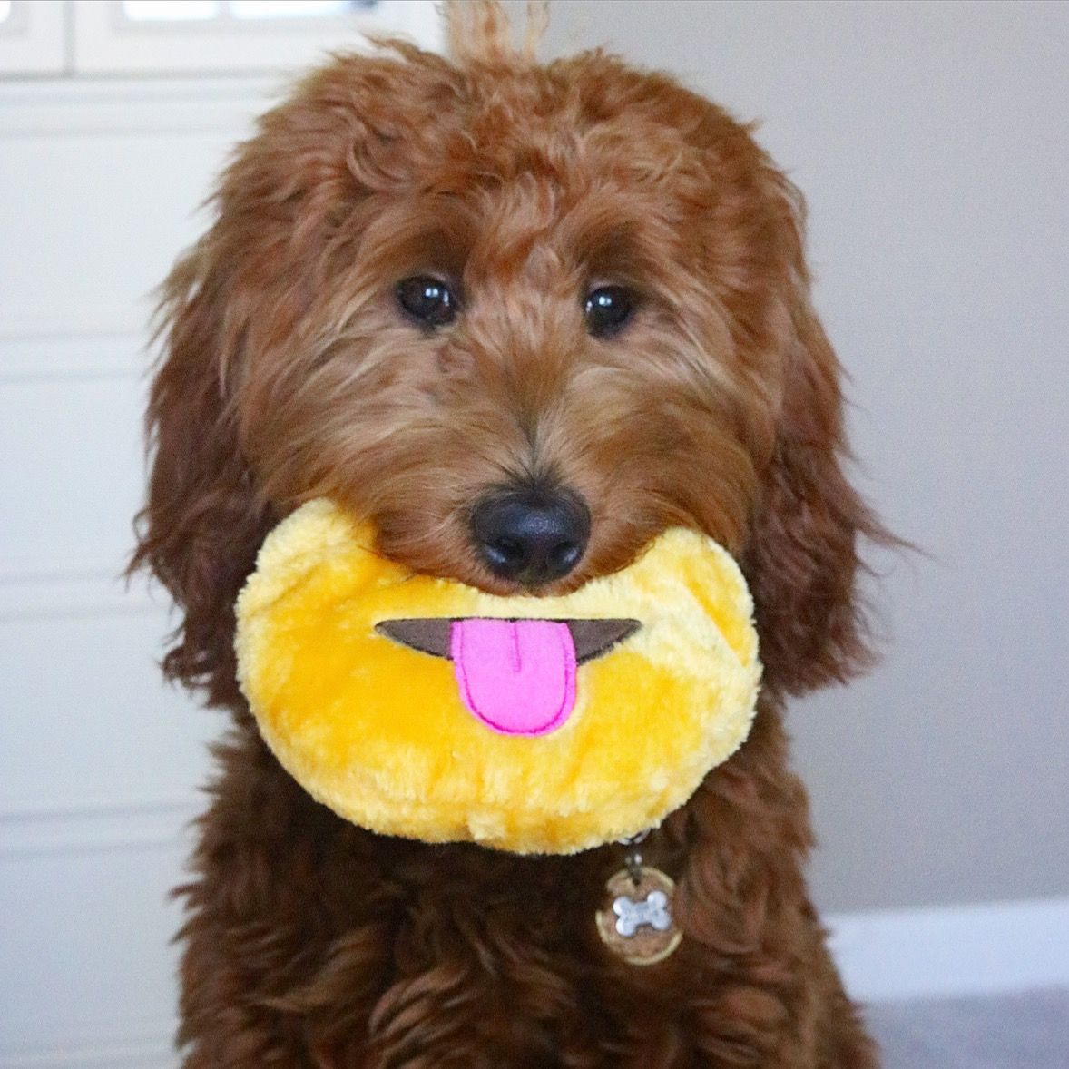 Red Goldendoodle Puppies for Sale Red goldendoodle