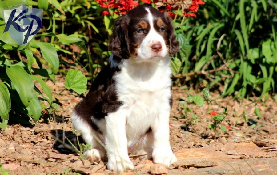 Puppy Finder Find Buy A Dog Today By Using Our Petfinder Springer Spaniel Puppies English Springer Spaniel Puppy Puppy Finder