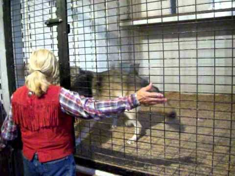 Wolves at Pensacola Interstate Fair - YouTube