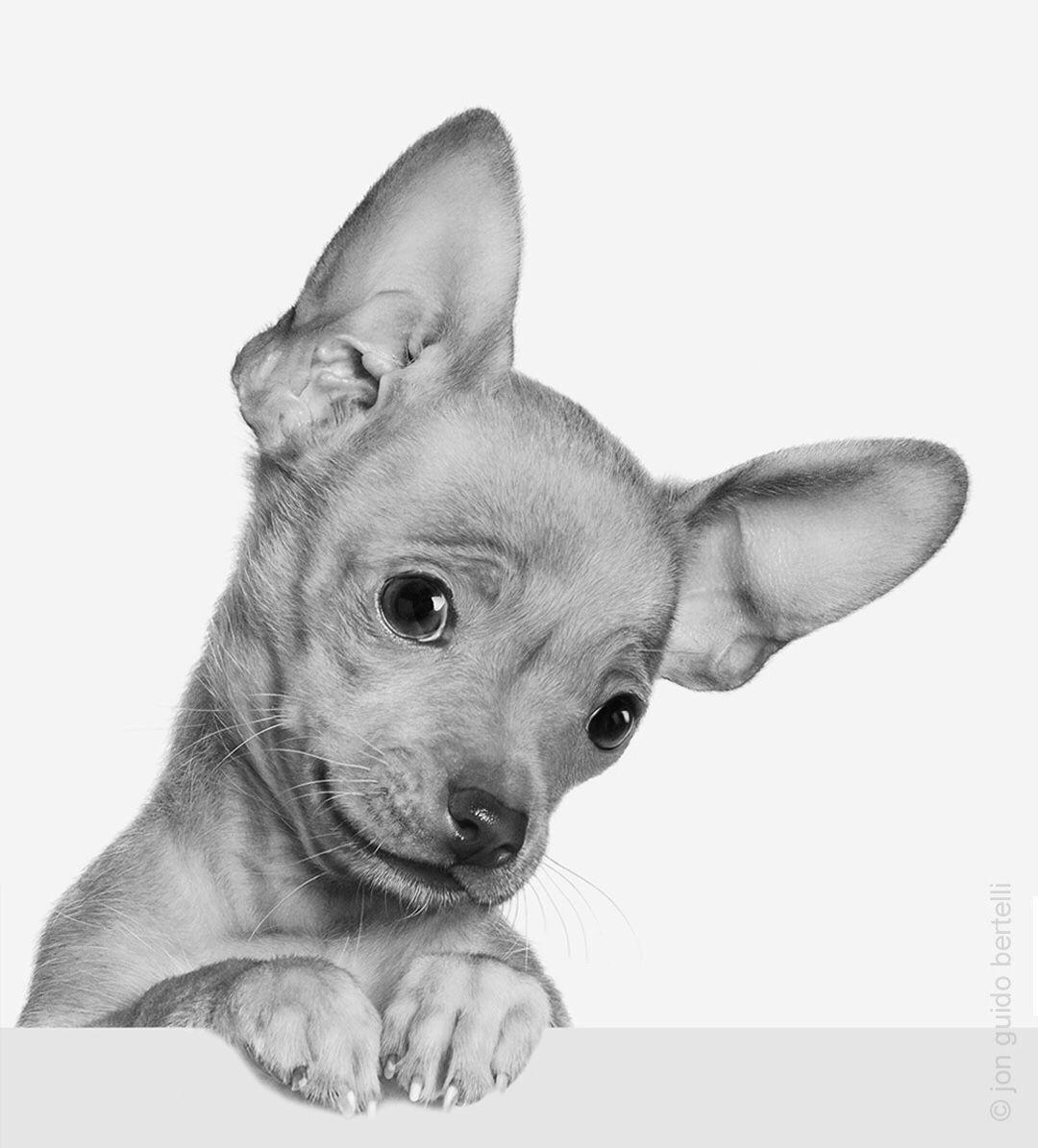 Chihuahua chihuahua dog pet 📷Jon Bertelli Photography
