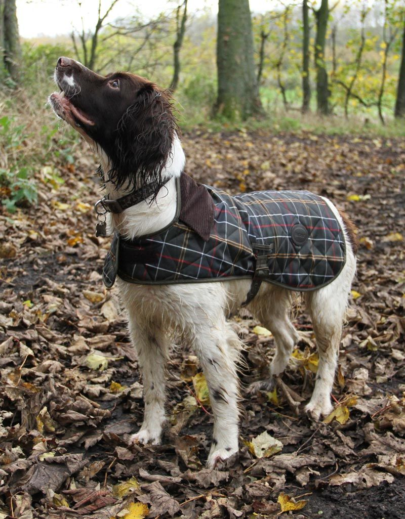 Dog Coat Tartan Dog Coats Springer Spaniel Puppies Dog Photos