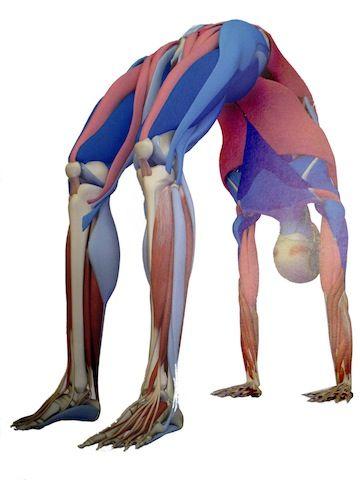 backbendmuscles