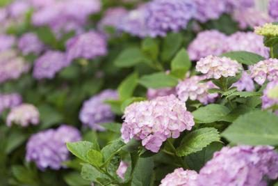 Sometimes, divide and conquer is the best way to deal with unruly established hydrangeas (Hydrangea spp.) or those that you planted in too tight a spot. You can use the same technique recommended for dividing most perennials -- digging up the plant at the most auspicious moment and dividing the root clump into two or more plants.