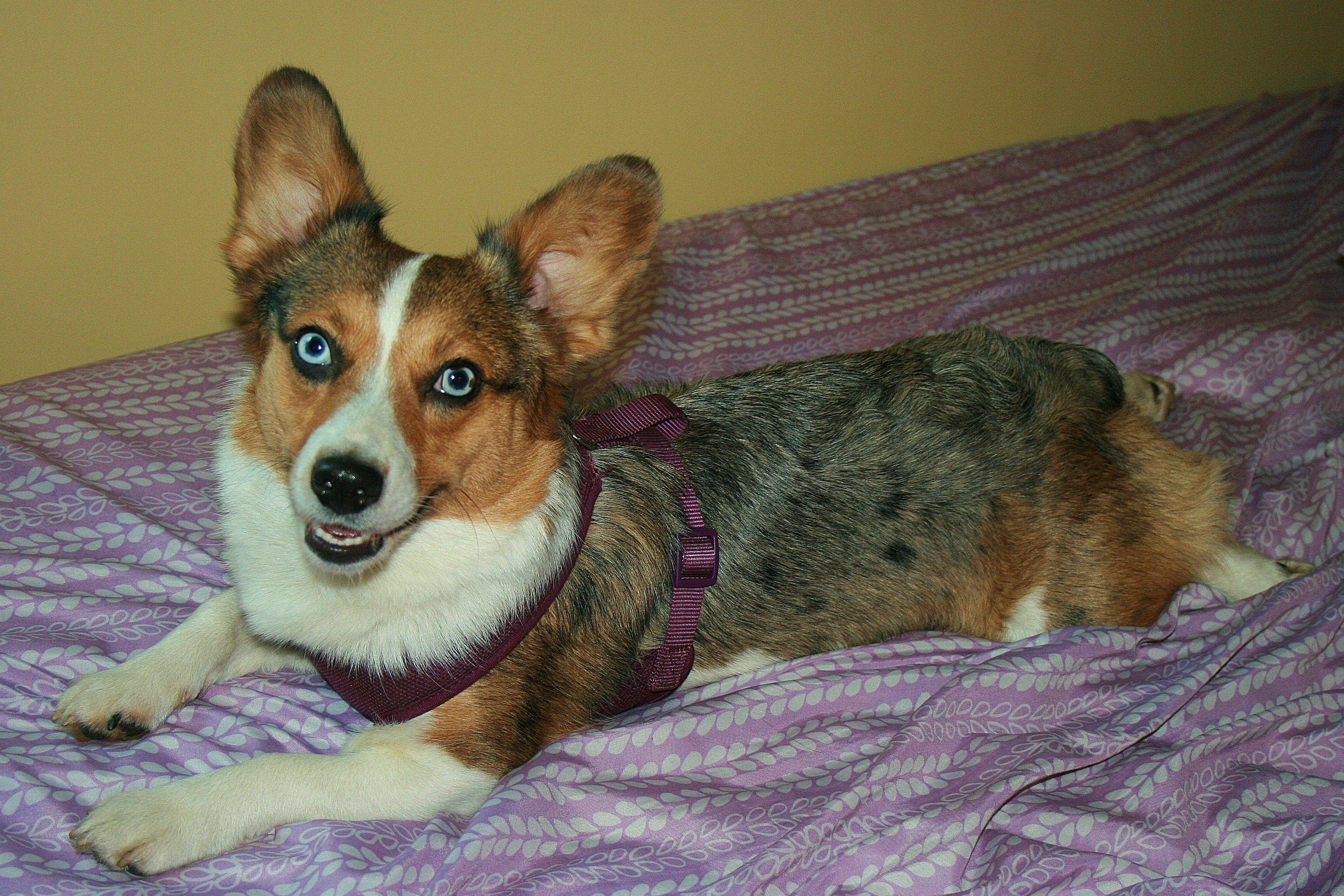 Calla Augi Corgi Mini Aussie Mix Corgi Canine Companions Puppies