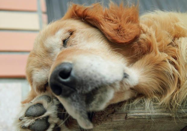 It's no mystery why these fluffy pooches are so popular: the well-mannered, fun-loving dogs are a hit with children and adults alike. Learn more about the history of these famous yellow dogs.