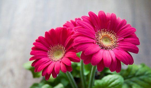 Flower Spring Summer Gerbera Beautiful Pink Flowers Gerbera Pink Flowers