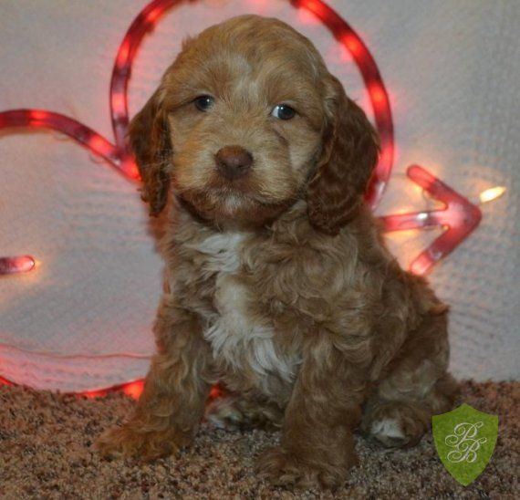 Puppies For Sale Cockapoo Puppies For Sale Puppies For Sale Cockapoo Puppies