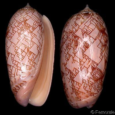 Oliva porphyria - it's rare to see such geometric patterns forming in nature