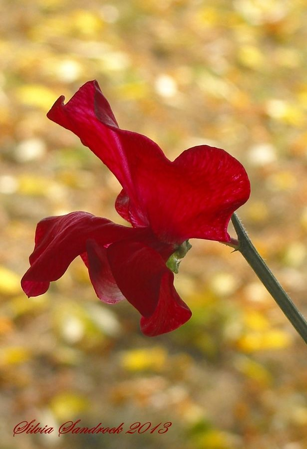 """Red Sweet Pea........"" by Silvia Sandrock, via 500px."