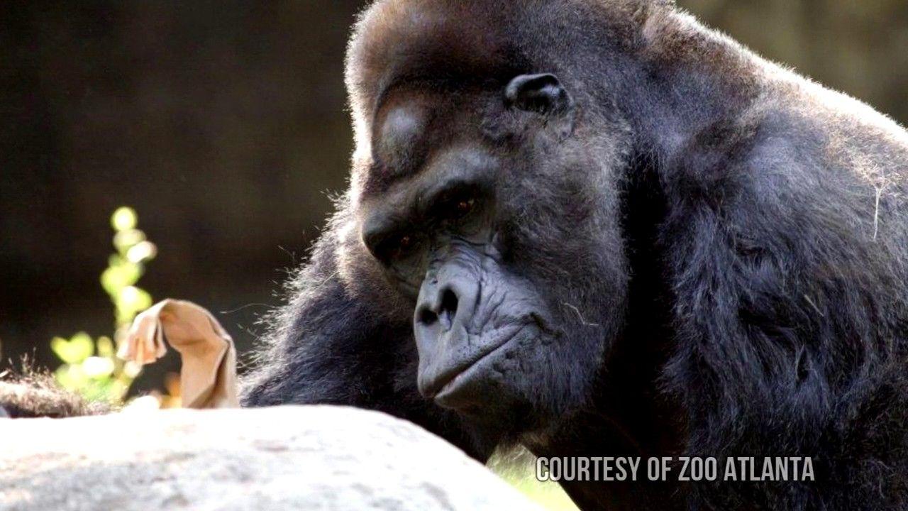 Meet ivan a gorillas story one and only ivan ivan