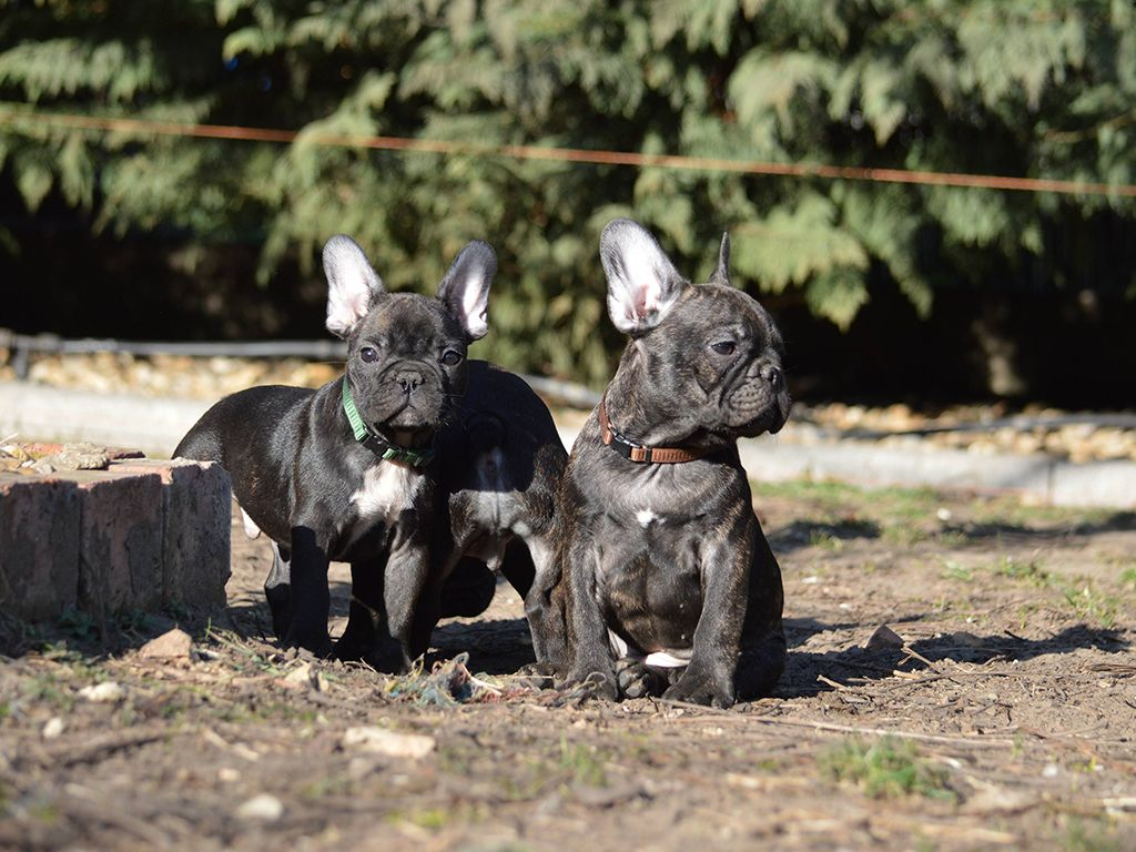 French Bulldog French Bulldog For Sale French Bulldog Bulldogs
