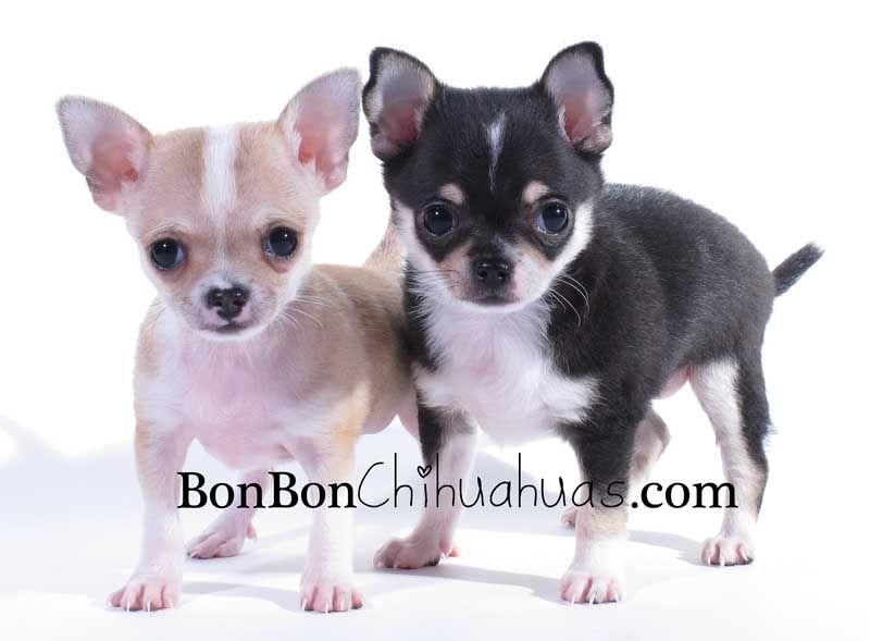 Akc Chihuahua Puppies Chihuahua Puppies Puppies Chihuahua