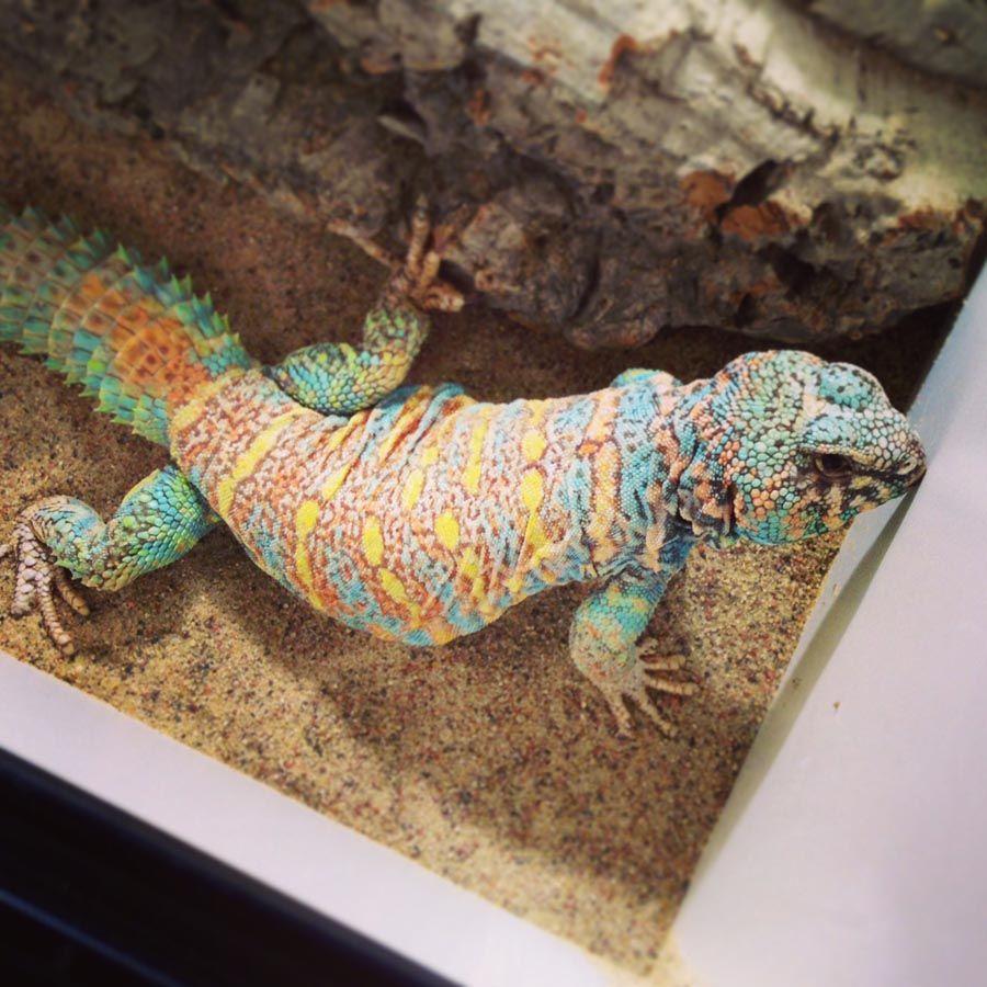 uromastyx ornata (male) Reptiles Pinterest