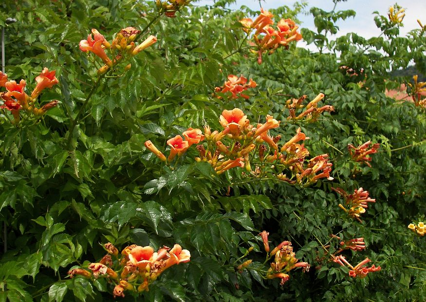 Indian Summer Trumpet Vine 12 M Yellow Orang Like Flowers Fast Growing That Clings To Stone Or Wood Very Invasive Grows Best In Full Sun