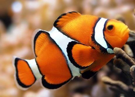 """""""Los peces payaso deciden a gritos quien manda en su cardumen."""""""