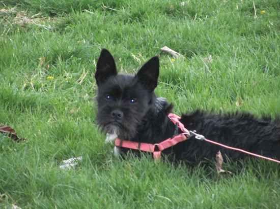 Photo Of Daisy The Miniboz Designer Dogs Cute Dogs Dog Design
