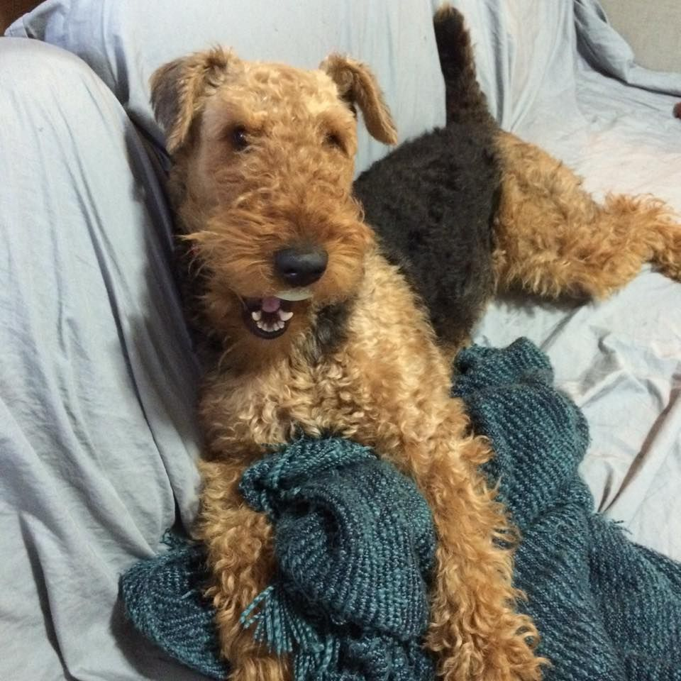 Cash The Airedale Airedale Terrier Puppies Airedale Terrier Airedale Puppy