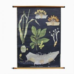 Vintage Botanical School Wall Chart by Jung, Koch, & Quentell for Hagemann