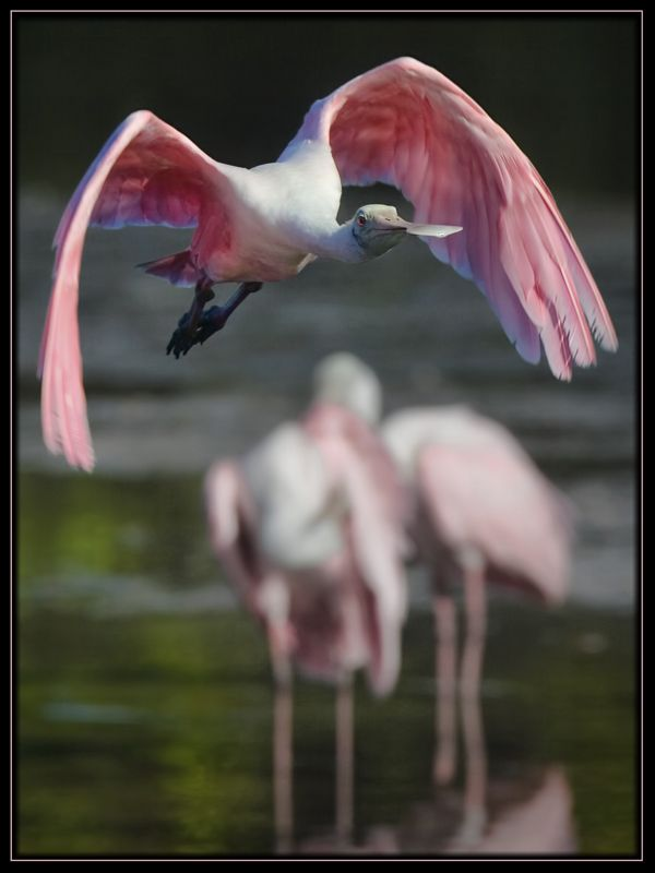 Flying Low - Sanibel Island, Florida